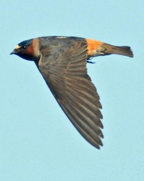 Cliff Swallow (pyrrhonota Group)