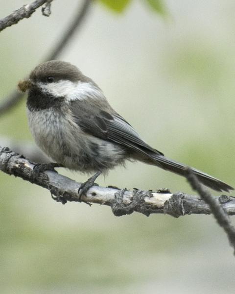 Gray-headed Chickadee