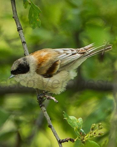 White-crowned Penduline-Tit