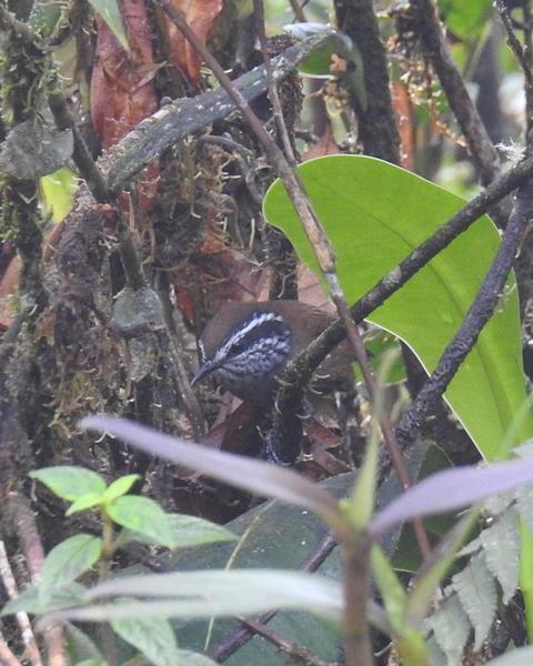Munchique Wood-Wren