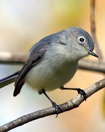 Blue-gray Gnatcatcher (caerulea)