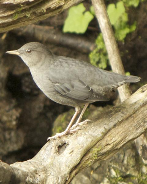 American Dipper (Northern)