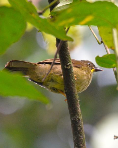 Yellow-whiskered Greenbul