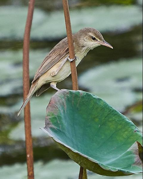 Oriental Reed Warbler
