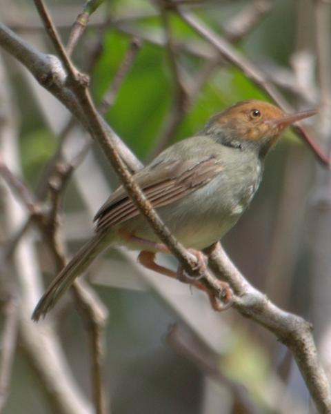 Olive-backed Tailorbird