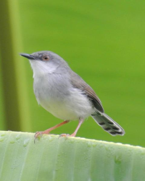 Gray-breasted Prinia
