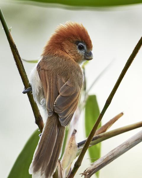 Pale-billed Parrotbill