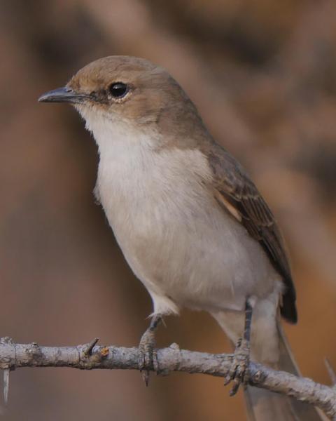 Mariqua Flycatcher
