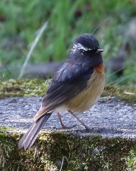 Collared Bush-Robin