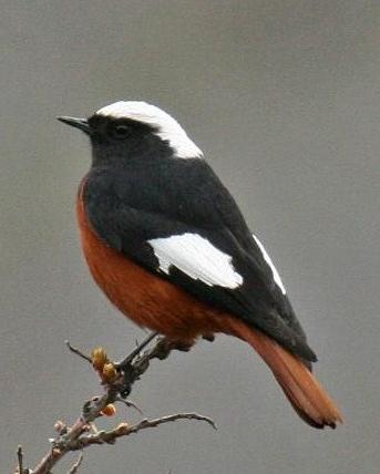 White-winged Redstart