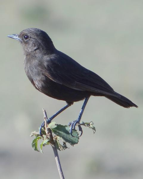 Sooty Chat