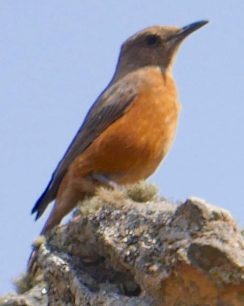 Cape Rock-Thrush