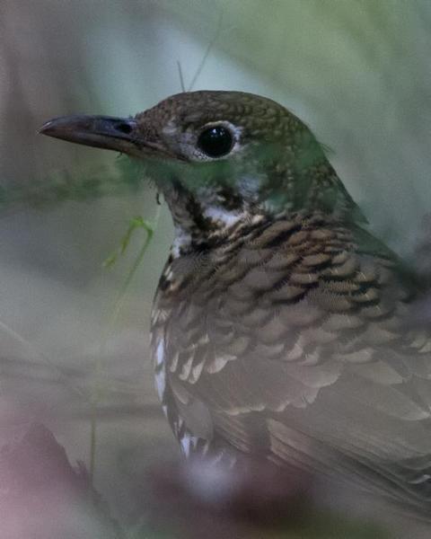Russet-tailed Thrush