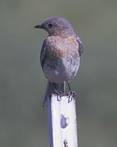 Eastern Bluebird (Eastern)