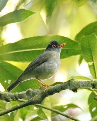 Black-headed Nightingale-Thrush