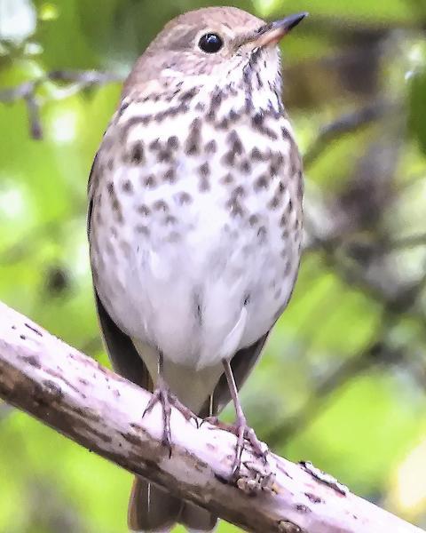 Hermit Thrush (auduboni Group)