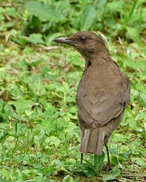Black-billed Thrush