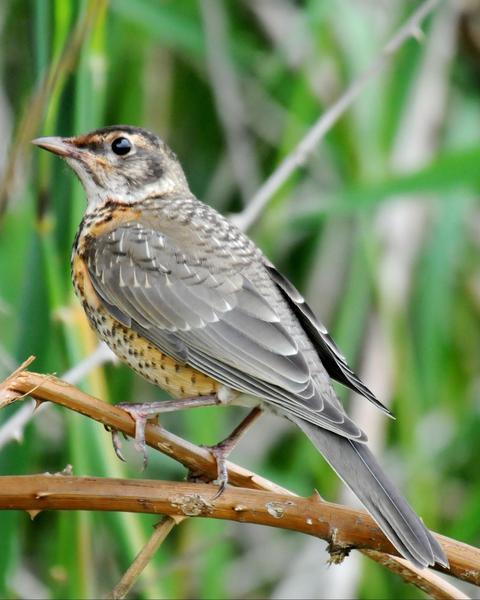 American Robin (Western)