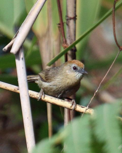 Buff-chested Babbler