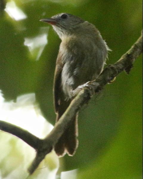 Rufous-fronted Babbler