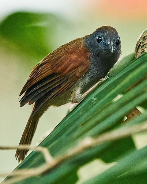 Chestnut-winged Babbler