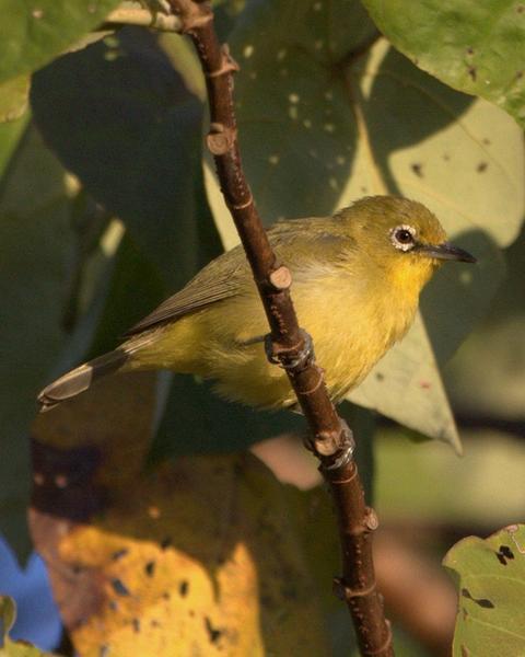Australian Yellow White-eye