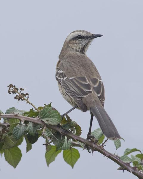 Chilean Mockingbird