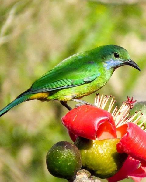 Orange-bellied Leafbird