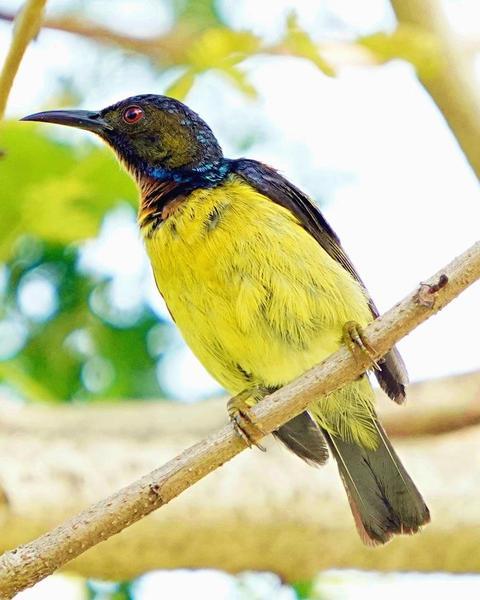 Plain-throated Sunbird