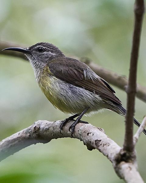 Copper-throated Sunbird