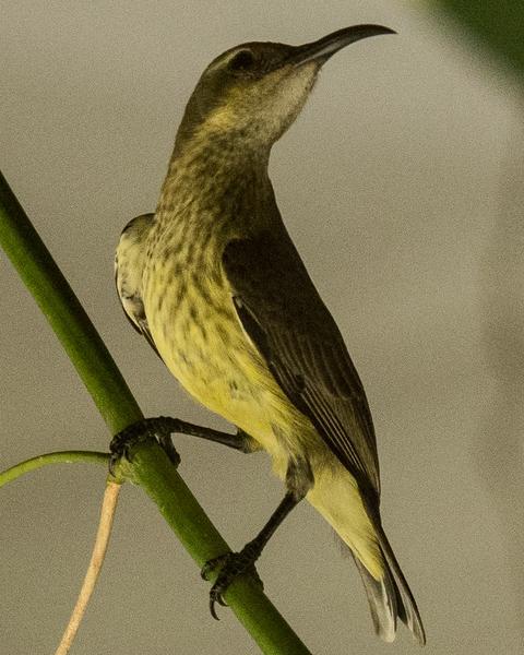 Johanna's Sunbird