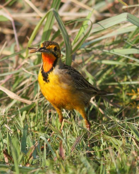 Orange-throated Longclaw