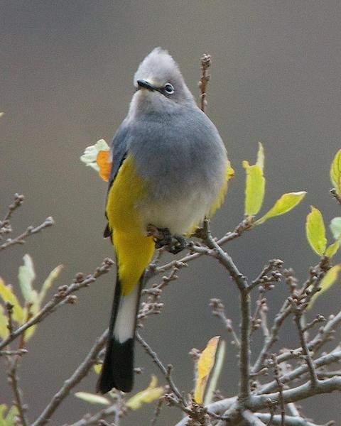 Gray Silky-flycatcher