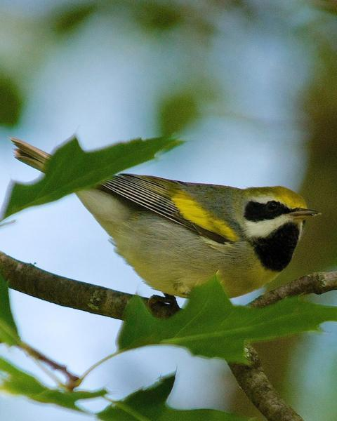 Golden-winged Warbler