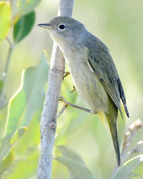 Yellow Warbler (Mangrove)