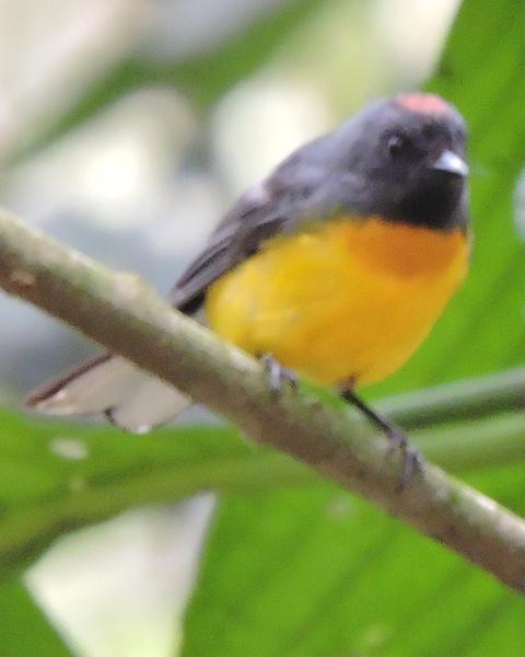 Slate-throated Redstart