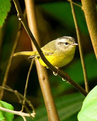 Three-banded Warbler