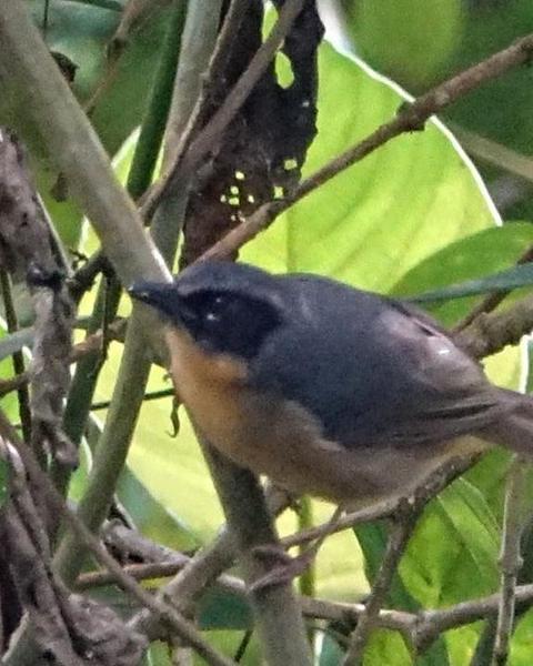 Black-eared Hemispingus
