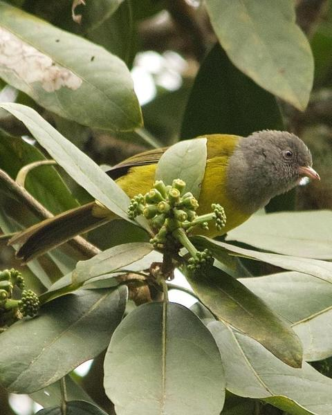 Gray-hooded Bush Tanager