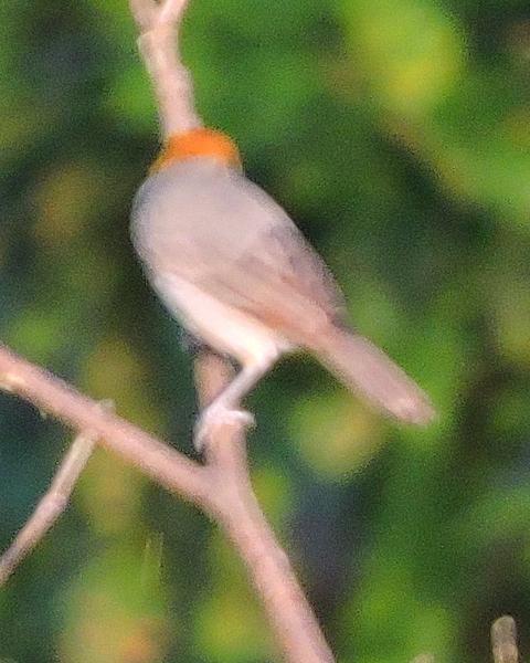Orange-headed Tanager