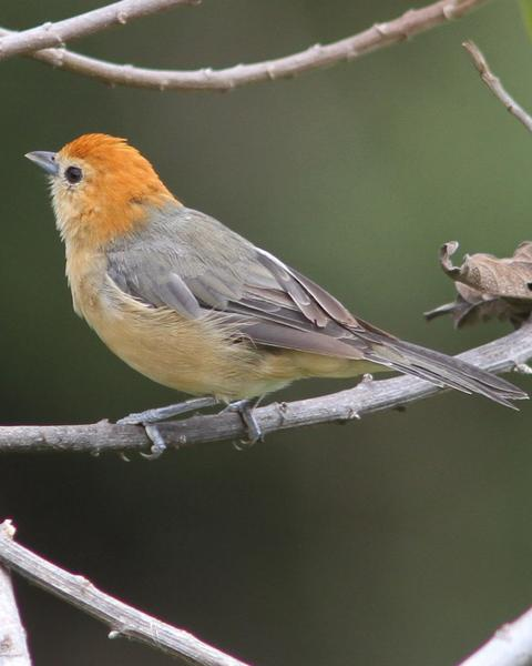 Buff-bellied Tanager