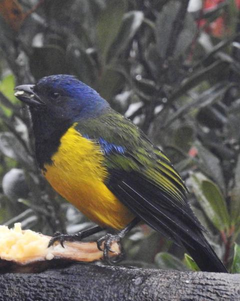 Black-chested Mountain-Tanager