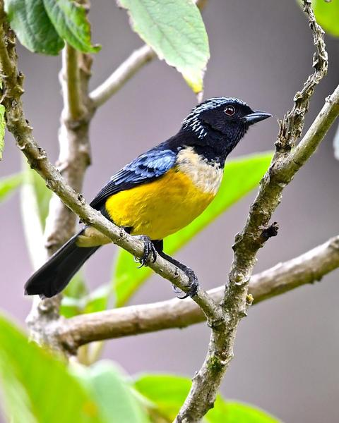 Buff-breasted Mountain-Tanager