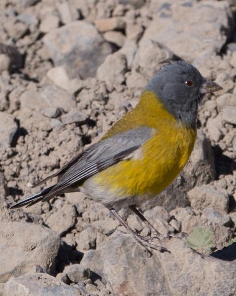 Gray-hooded Sierra-Finch