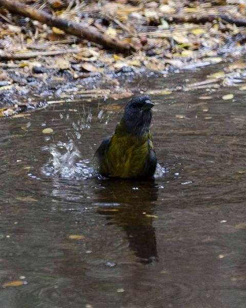 Patagonian Sierra-Finch