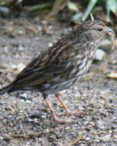 Plumbeous Sierra-Finch
