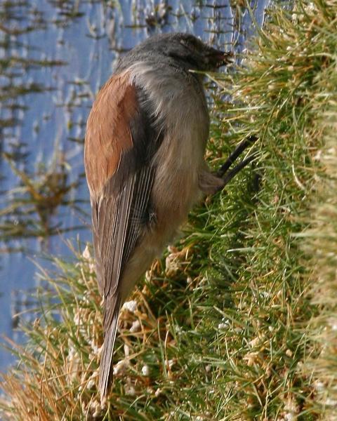 Red-backed Sierra-Finch
