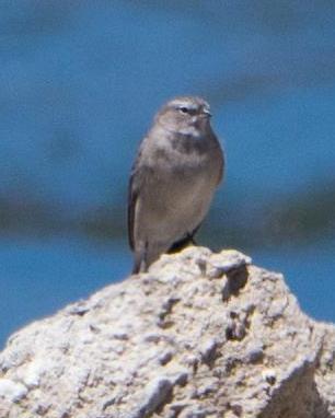 Ash-breasted Sierra-Finch
