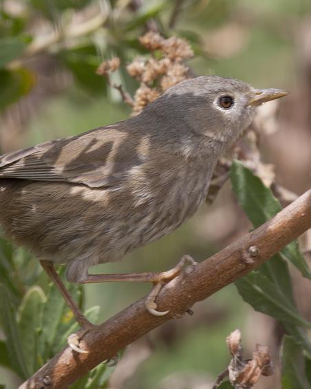Slender-billed Finch