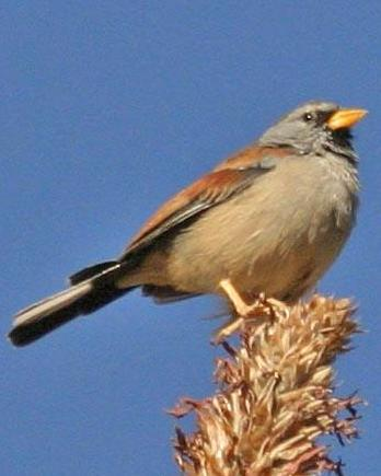 Great Inca-Finch